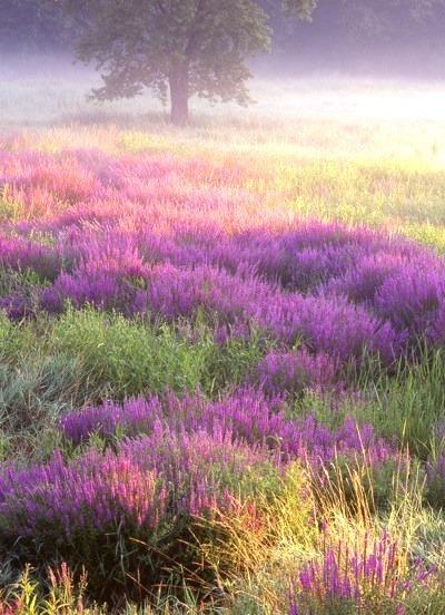 Purple Loosestrife, Troy Meadows, New Jersey