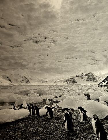 March of the Adelies, Antarctica