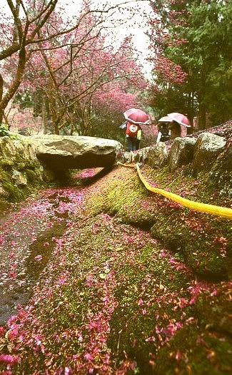 Sakura festival in Formosan aboriginal culture village, Nantou County / Taiwan